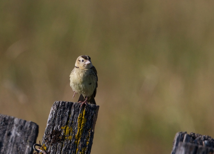 Bobolink Fledgling, New Meadows, Idaho