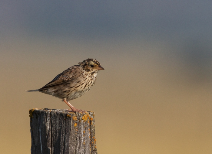 Sparrow Fledgling, New Meadows, Idaho