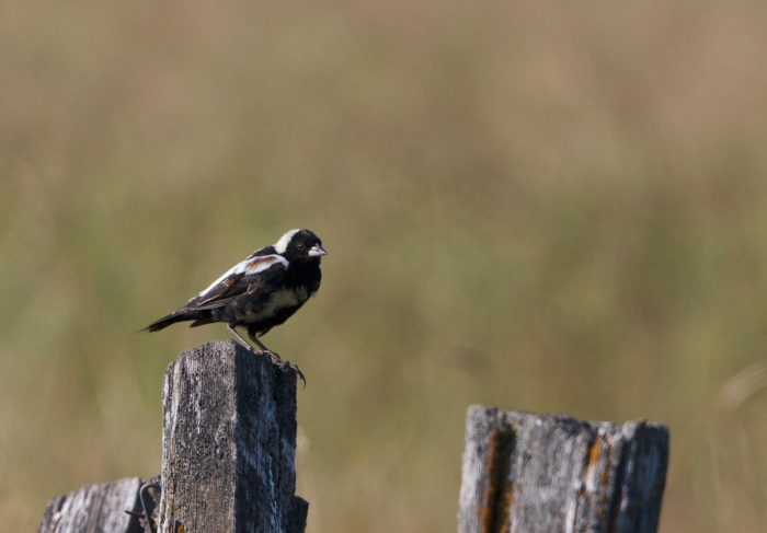 Adult Male Bobolink, New Meadows, Idaho