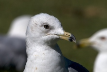Ring-biled Gull, Basic Plumage, Boise, Idaho