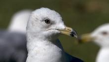 Ring-biled Gull, Basic Plumage, Boise, Idaho