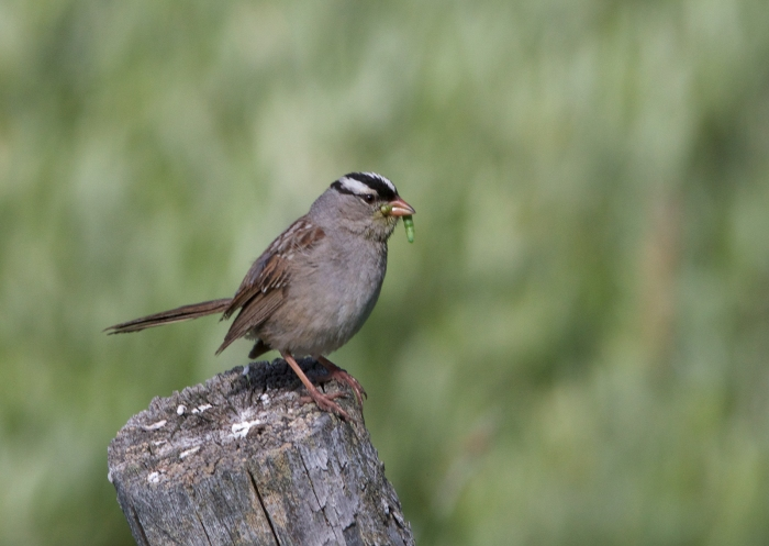 White-crowned Sparrow, Marsh Creek, Sawtooth NRA, Idaho