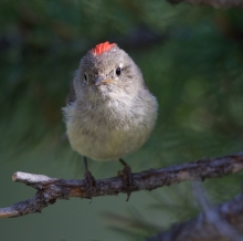 Ruby-crowned Kinglet, Lola Creek, Sawtooth NRA, Idaho