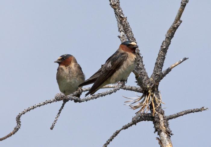 Cliff Swallows, Marsh Creek, Sawtooth NRA, Idaho