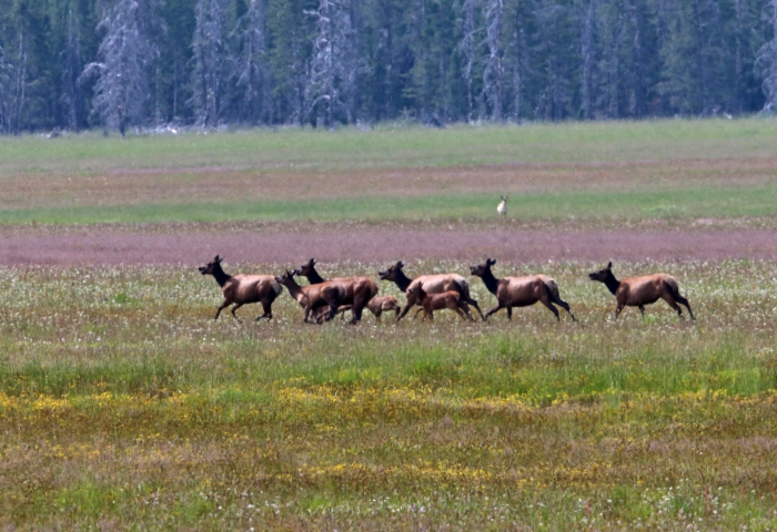 Elk Herd, Marsh Creek Valley, Sawtooth NRA