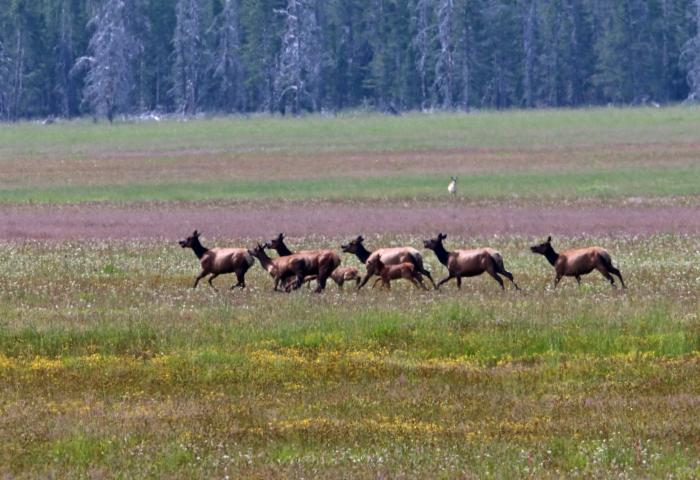 Elk Herd, Marsh Creek Valley, Sawtooth NRA