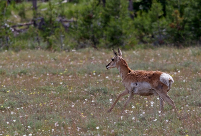 Pronghorn, Marsh Creek Valley, Sawtooth NRA