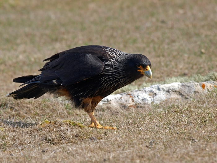 Striated Caracara, New Island, Falkland Islands