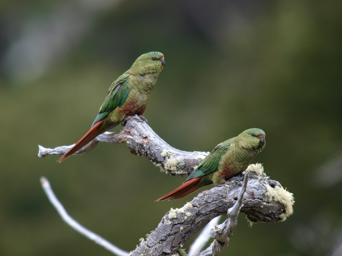 Austral Parakeet, Tierra del Fuego, Aregentina