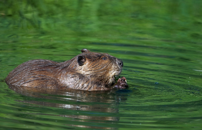 North American Beaver, Page Springs, Malheur National Wildlife Refuge, Oregon