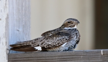 Common Nighthawk roosting on a porch railing, Malheur Field Station, Oregon