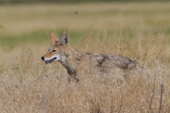 Coyote, Center Patrol Road, Malheur Nat'l Wildlife Refuge, Oregon