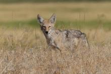 Coyote, Center Patrol Road, Malheur Nat'l Wildlife Refuge, Oregon