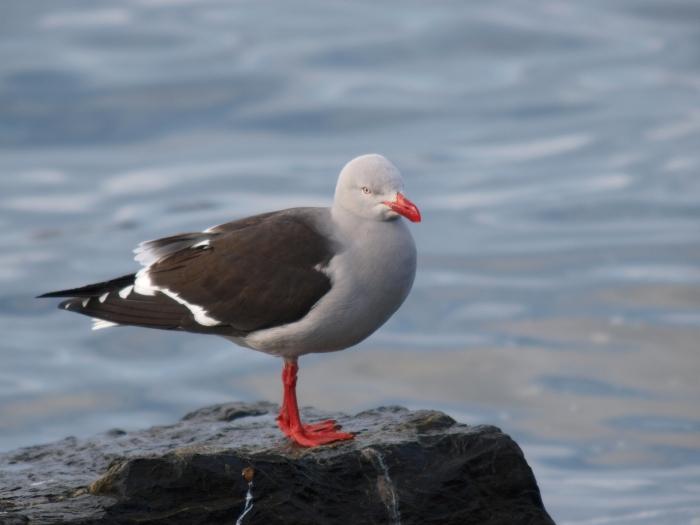 Dolphin Gull, Ushaia Harbor, Tierra del Fuego