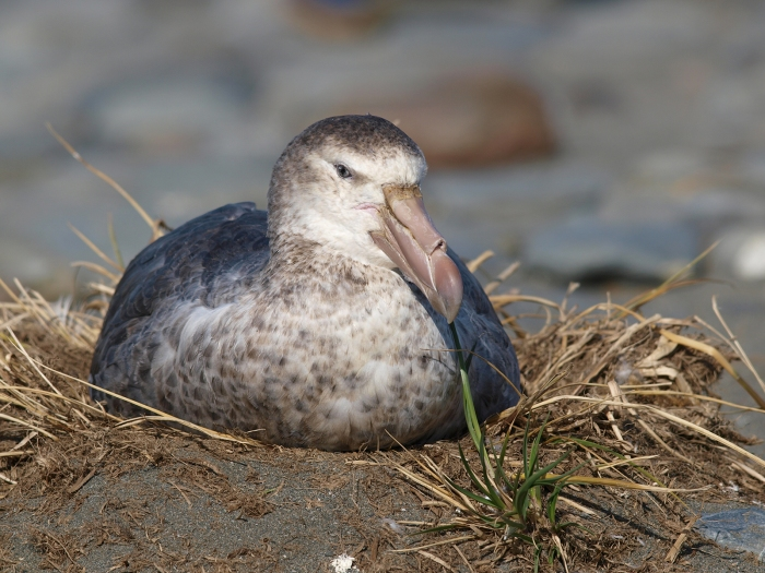Southern Giant Petrel on a Nest, South Georgia Island, Southern Ocean