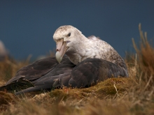 Nesting Southern Giant Petrel, South Georgia Island, Southern Ocean