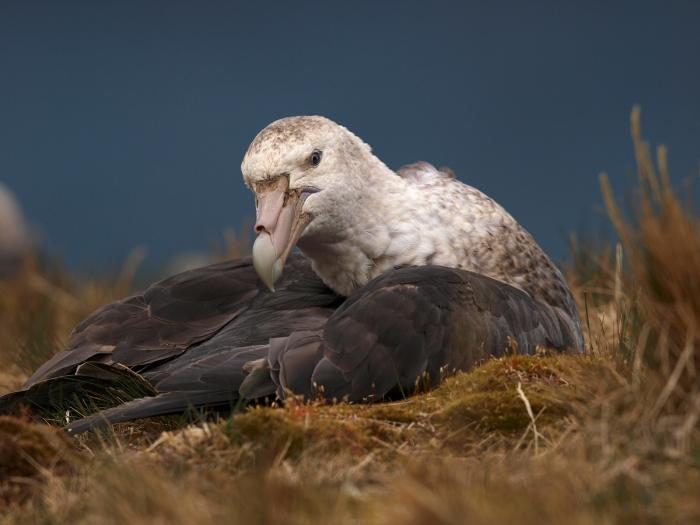 Nesting Southern Giant Petrel, South Georgia Island, Southern Ocean