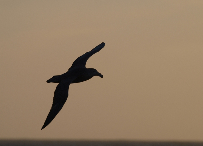 Southern Giant Petrel Following the Ship, Southern Ocean