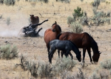 Wild Horses, Catlow Rim Herd, Oregon