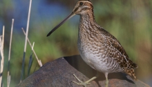 Wilson's Snipe. The perch is some kind of rubber bag, not a rock.