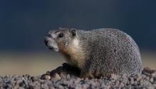 Yellow-bellied Marmot, Steens Mountain, ORegon