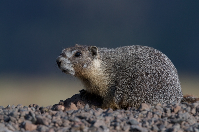 Yellow-bellied Marmot, Steens Mountain, ORegon
