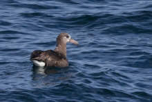 Black-footed Albatross, 44 miles off shore at Monterey, California