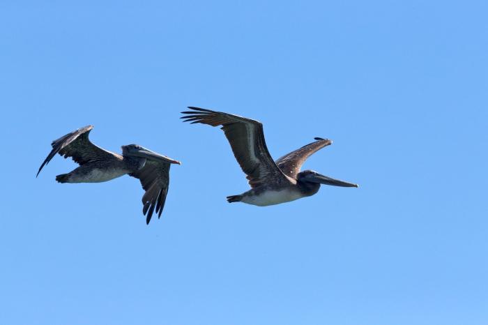 Brown Pelicans Monterey Bay, California