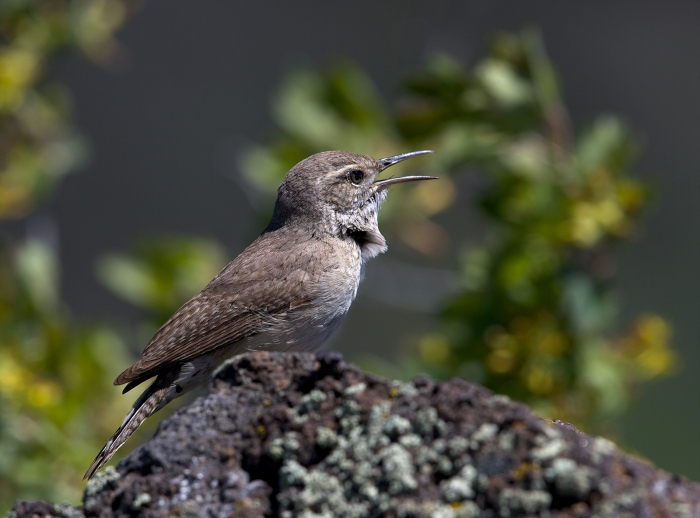 Rock Wren, Magic Reservoir, Camas Prairie