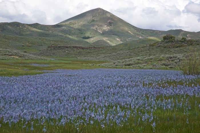 Camas Lilies, Camas Prairie