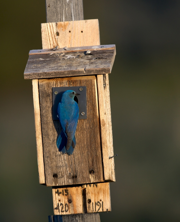 Mountain Bluebird, Upper Cow Creek, Camas Prairie