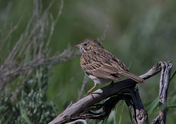 Vesper Sparrow, Schoolhouse Rod, Camas Prairie