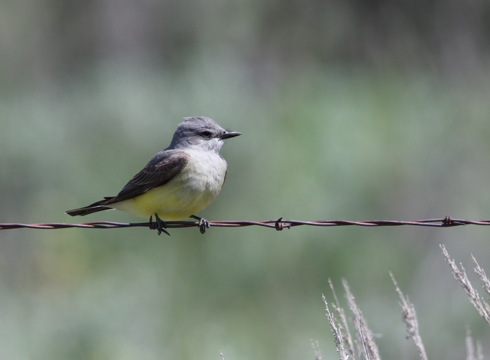 Western Kingbird, Hill City Road, Camas Prairie