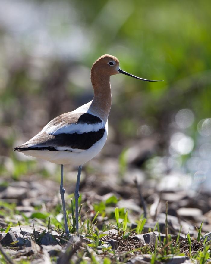 American Avocet, Centennial Marsh, Camas Prairie