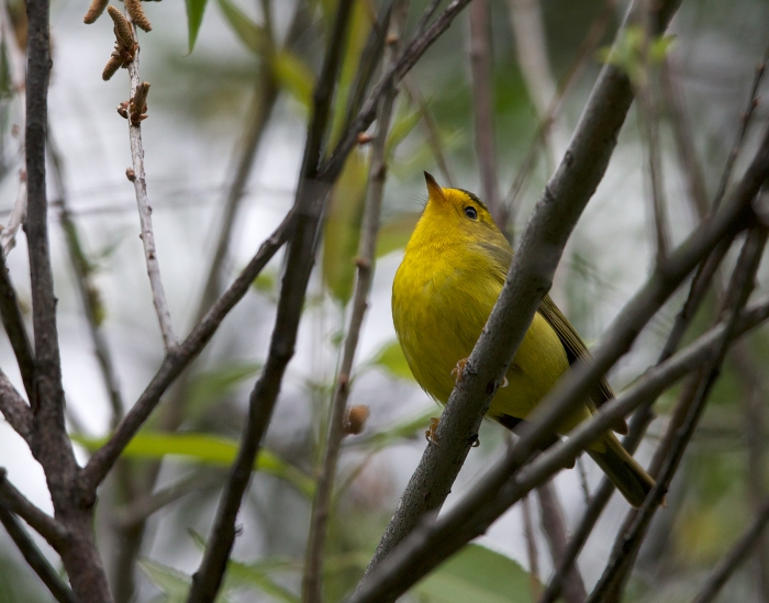Wilson's Warbler, Wild Horse Creek, Camas Prairie