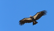 Adult Male California Condor, flying in the wild