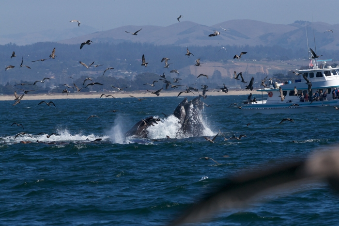 Humpback Whales lunge feeding on anchovy