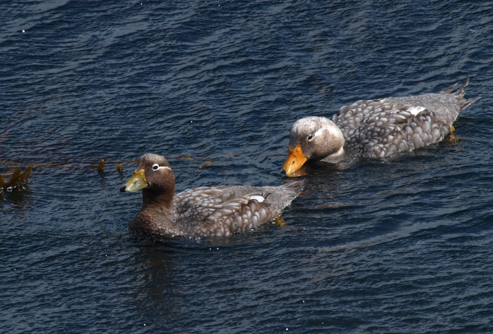 Flkland Steamer Ducks, Stanley Harbor, Falkland Islands