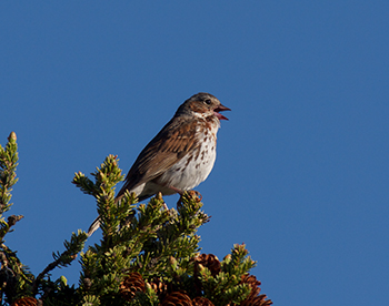 Fox Sparrow, South Face of Alaska Range, prob. Schistacea supbspecies