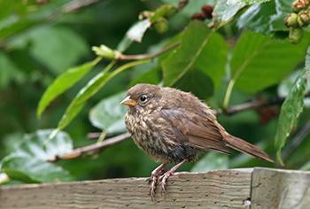 Fox Sparrow, Valdez, Alaska, prob. Townsendi subspecies