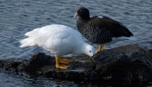 Male (L) and Female (R) Kelp Goose, Tierra del Fuego National Park, Argentina