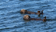 Sea Otters, Elkhorn Sough, Monterey Bay