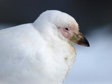 Snowy Sheathbill portrait, South Georgia Island
