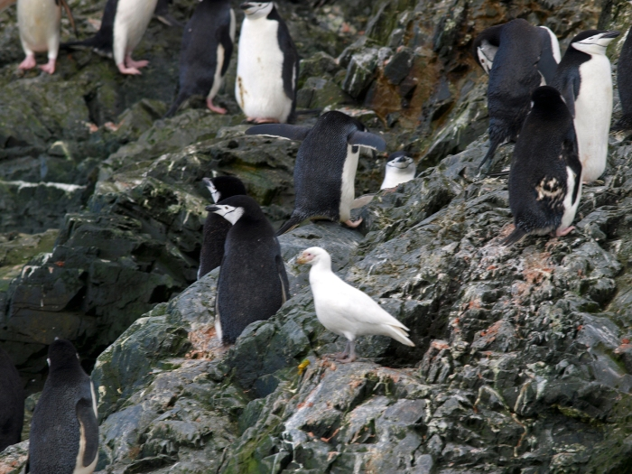 Snowy Sheathbill loitering in a Chinstrap Penguin colony, Deception Island, Southern Ocean