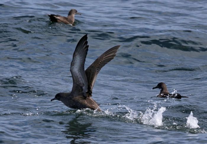 Sooty Shearwaters, Monterey Bay, California