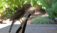 Young Cooper's Hawk, Checking Out the Options