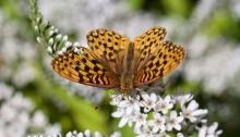Callippe Fritillary Butterfly, Charlie's Garden, McCall, Idaho