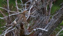 Austral Pygmy-Owl, Tierra del Fuego National Park, Argentina