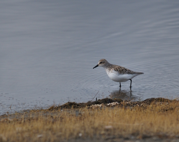 Baird's Sandpiper, Tanana Lakes (nee South Cushman Ponds), Fairbanks