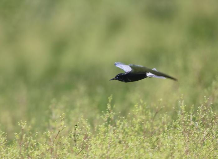 Black Tern, Malheur Nat'l Wildlife Refuge, Oregon